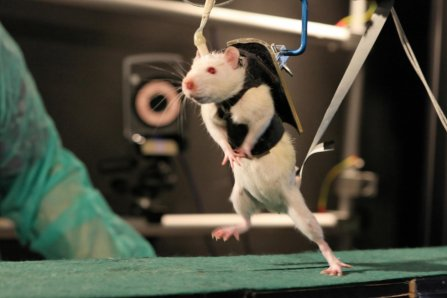 Medical research into brain disorders using animals is often